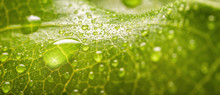 Banner Of Rain Drops Of Transparent Rain Water On A Green Leaf Macro
