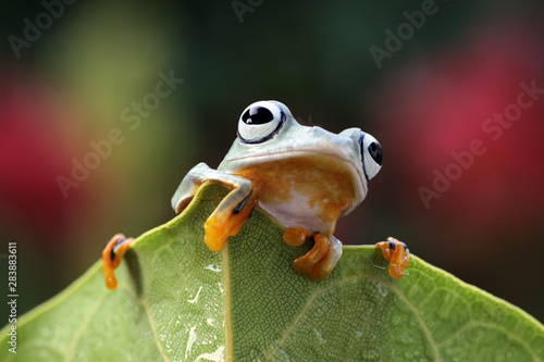 Foto op Plexiglas Kikker flying tree frogs sitting on leaves