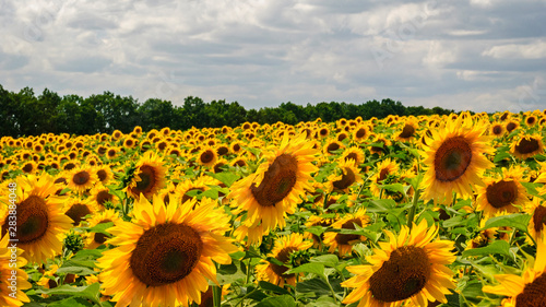 Canvas Prints Countryside Wonderful sunflowers growing in field near forest