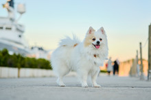 Beautiful White Pomeranian Spitz Walking Outdoors On The Street.