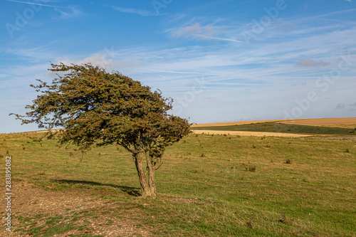 A windswept tree on Ditchling Beacon, in the South Downs Fototapet