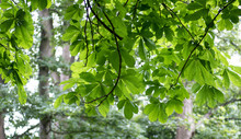 Overhanging Horse Chestnut Tree Branches And Leaves In The Woods.
