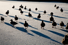 Ducks Marching On Frozen Canal
