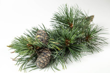 Branches Of A Swiss Stone Pine...