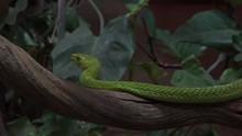4k Western Green Mamba Closeup...
