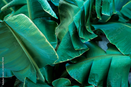 Fresh green banana leaves taken at  back of house
