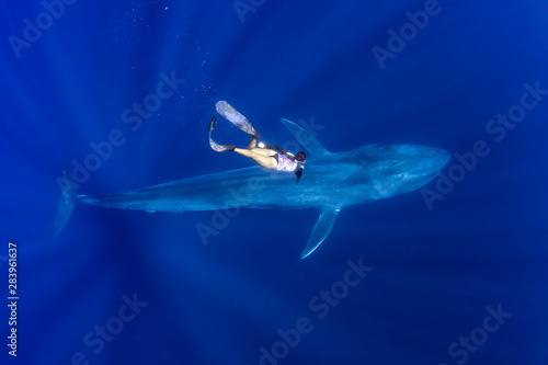 Fototapeta Blue Whale and A Freediver obraz