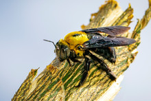 Image Of Yellow Carpenter Bee ...
