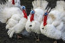 Homemade White Turkeys