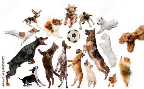 Obraz Young dogs are posing. Cute doggies or pets are looking happy isolated on white background. Studio photoshots. Creative collage of dogs, fighting for ball like a football players. Flyer for your ad. - fototapety do salonu