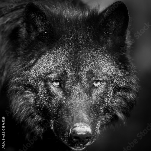 Spoed Fotobehang Wolf Portrait of black wolf in the forest