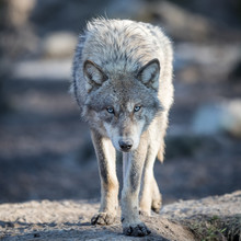 Portrait Of Grey Wolf In The F...