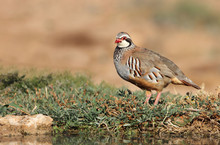 Red Legged Partridge, Alectoris Rufa, Partridge
