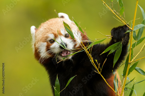 Photo  Red Panda in the tree