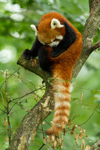 Red Panda In The Tree