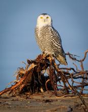 Portrait Of A Snowy Owl Along ...