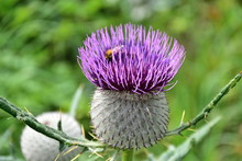 Cirsium Vulgare, The Spear Thistle, Bull Thistle In Flower