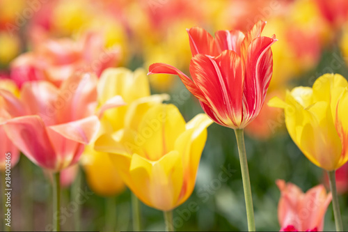 Fototapety, obrazy: Original photograph of brightly colored tulips growing in a tulip field