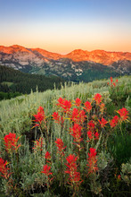 Summer Wildflowers In The Wasatch Mountains Above Park City, Utah, USA.