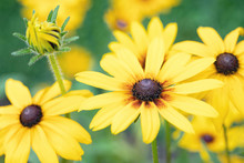 Original Close Up Photograph Of  Cheery Yellow Rudbeckia Flowers Growing In A Garden