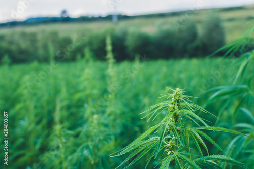 Summer hemp field ready to harvest Canvas Print