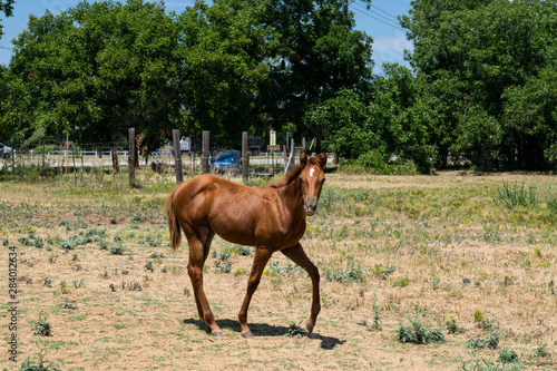 Cute young colt horse prancing in pasture
