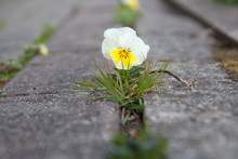 The Small Flower Growing Throu...