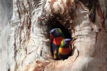 Rainbow Lorikeet, Queensland, ...
