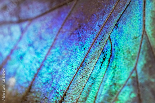 Fototapeta  Colorful Morpho butterfly super macro, detailed texture of the wing, vibrant ins