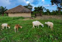Herd Of Sheep Graze In Front O...