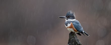 Kingfisher On A Perch In The R...