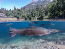 Famous Blausee With Trouts In ...
