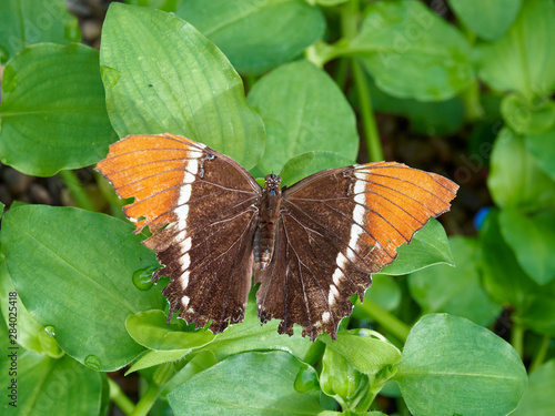 Photo A Rusty-Tipped Page Butterfly on a leaf, Siproeta epaphus at a Butterfly Farm in the St Andrews Botanic Gardens, Fife, Scotland