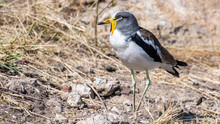 White-crowned Wattled Lapwing