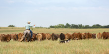 Moving Cattle With Working Dogs