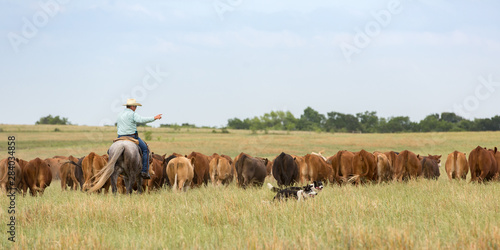 Fotografie, Tablou Moving cattle with working dogs