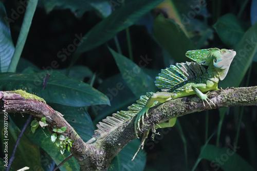Canvas-taulu basilisk lizard in wild