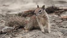 Ground Squirrel On The Beach