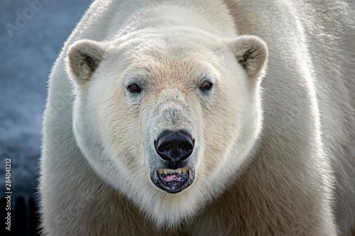 Polar bear closeup Wallpaper Mural