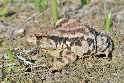 Photo Toad (Bufo gargarizans) 45