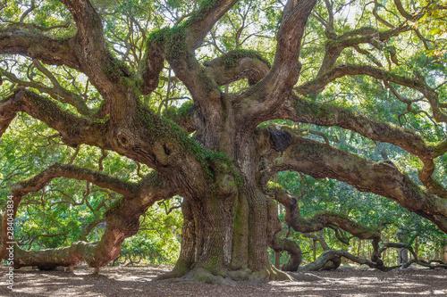 Obraz Old Oak tree in a garden - fototapety do salonu