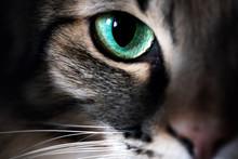 Cat Eye Macro Closeup Animal