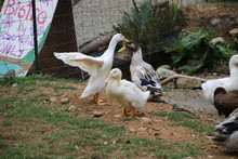 Duck Stretching His Wings