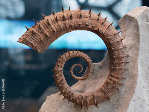 Photo Close up image of Ammonite Fossils from the Jurassic.