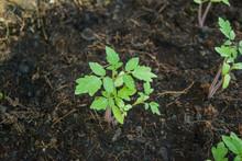 Planting Tomato Seedlings