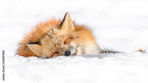 Photo  Japanese red fox sleeping in the snow