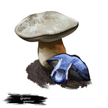 Gyroporus Cyanescens Bluing Or Cornflower Bolete, Species Of Bolete Fungus In Gyroporaceae Isolated On White. Digital Art Illustration, Natural Food, Package Label. Autumn Harvest Fungi On Grass.