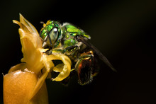 Colorful Orchid Bee Or Exaeret...
