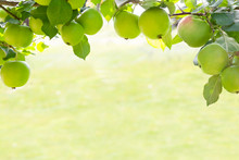 Frame Of Green Apples On Branch Grown In An Organic Garden In Morning Light Outdoors, Close-up