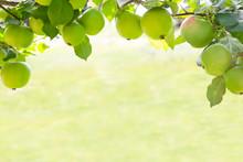 Frame Of Green Apples On Branc...